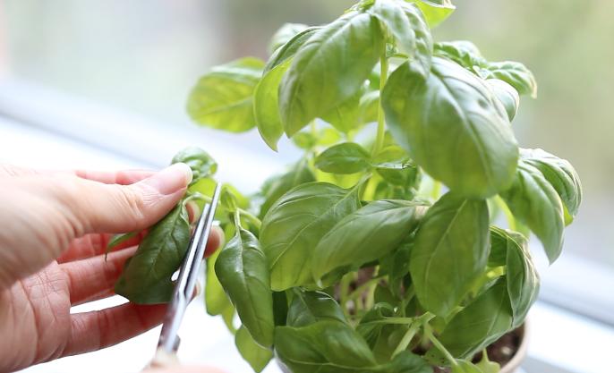 basil plant herb